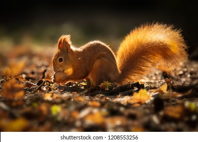 Cute squirrel in morning light. Amazing small and cute animal. Very fast, jumping from one tree to another. Eating seeds and nuts. Red, orange or brown furry rodent. Natural cutie, lovely animal.