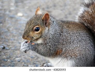 Cute squirrel munching a peanut on the sidewalk