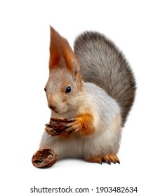 Cute squirrel with nut on white background