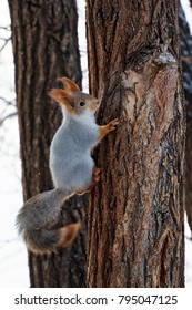 A cute squirrel in a winter fur sits on a brown tree trunk. Russia, Sibirien. Winter forest