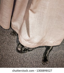 Cute Staffordshire bull terrier dog lying flat hiding under a curtain on a black and white carpet.