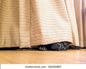 Cute Staffordshire Bull Terrier dog lying on a wood floor hiding under a curtain, drape, one open eye can be seen as he is peeking out.