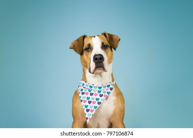 Cute staffordshire terrier dog in bandana with hearts. Young pitbull puppy sits in light blue colorful  background posing for valentine's day