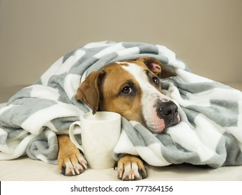 Cute staffordshire terrier dog with expressive eyes cuddles in throw blanket and holds cup of tea or coffee. Young pitbull pet in bed wrapped in plaid looks up and holds hot drink