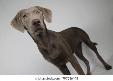 Imágenes, fotos de stock y vectores sobre Silver Labrador