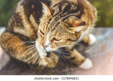 Cute stripped brown cat scratching her ear