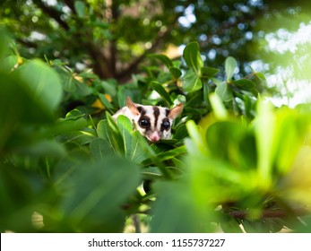 Cute Sugar Glider plays hide and seek on the tree.