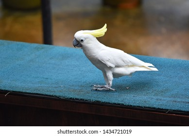 Cute sulphur-crested cockatoo or yellow-crested cockatoo