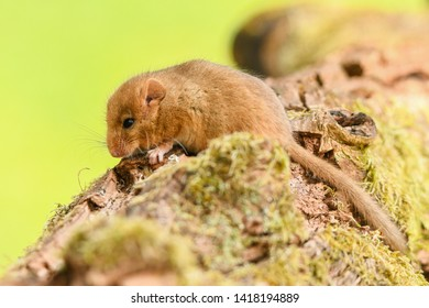 A cute, sweet animal. Hazel dormouse (Muscardinus avellanarius). Bieszczady Mountains. Poland