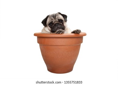 cute sweet pug dog sitting in terracotta plant pot, isolated on white background