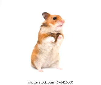 Cute Syrian hamster standing on its hind legs (isolated on white, selective focus on the hamster nose and whiskers)
