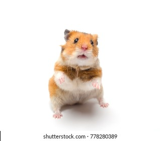 Cute Syrian hamster standing on its hind legs in a funny pose (isolated on white), selective focus on the hamster eyes