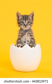 Cute tabby baby cat kitten in a white egg shell on a yellow background