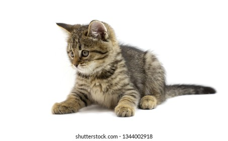Cute tabby brown kitten lying and looking left isolated on white background. Newborn kitten, Kid animals and adorable cats concept