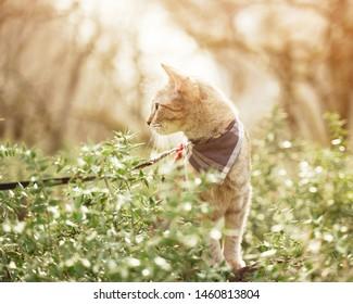 Cute tabby cat in bandana walking in the forest outdoor.
