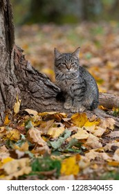 Cute tabby cat at the base of a tree in the woods with fall colors in autumn