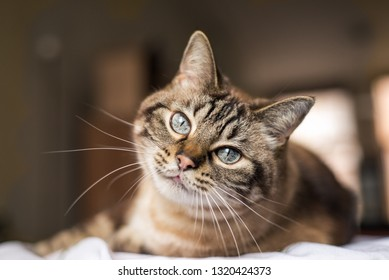 Cute tabby cat with blue eyes and long whiskers looks at camera with a sweet expression. Close-up portrait of a beautiful cat laying indoors.
