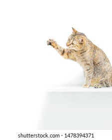 Cute tabby cat of ginger color sitting on shelf and catching something with paw on a white background.
