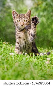 Cute tabby cat kitten sitting playfully on a green grass meadow in a garden holding up the left paw, a real beckoning cat pose on a sunny day in spring