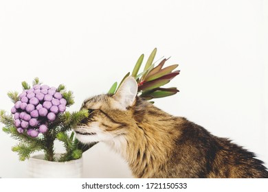 Cute tabby cat smelling Brunia plant on white background with copy space. Unusual creative flower. Home pets and decor. Curios Maine coon sniffing painted purple brunia flowers