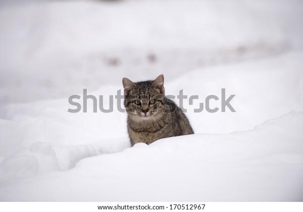 Cute tabby cat walking in heavy snow following winter storm.