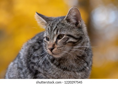 Cute tabby cat with yellow fall leaves in the background