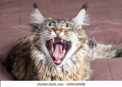 Cute tabby fluffy cat widely opens his mouth with a mad expression. Showing the teeth and pink tongue, eyes closed, mews or yawns. Indoors, copy space, close up, selective focus.