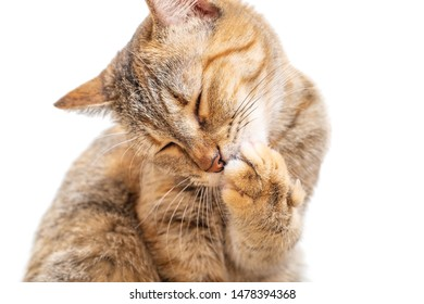 Cute tabby ginger color cat with closed eyes washing its paw on a white background, front view.