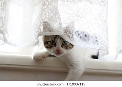 Cute tabby kitten hiding behind the lace curtain. Selective focus.