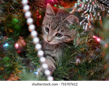 Cute tabby kitten hiding in Christmas Tree