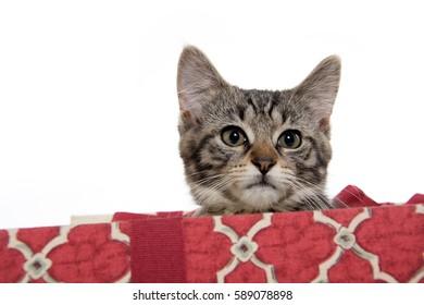 Cute tabby kitten inside of Christmas gift box on white background