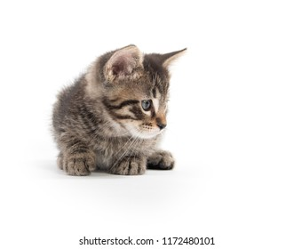 Cute tabby kitten laying down facing camera isolated on white background