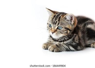 Cute  tabby kitten laying down