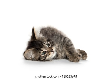 Cute tabby kitten laying down and rolling isolated on white background