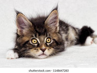 cute tabby kitten Maine Coon on white background