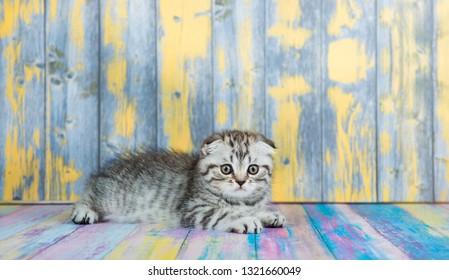 Cute tabby kitten, Scottish Fold