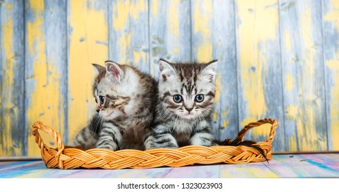 Cute tabby kittens, Scottish Fold