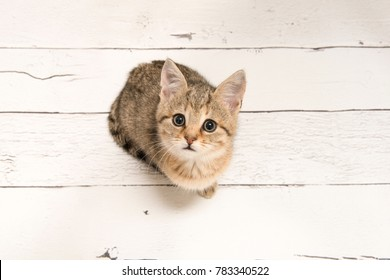 Cute tabby young cat looking up seen from a high angle view on a white wooden background