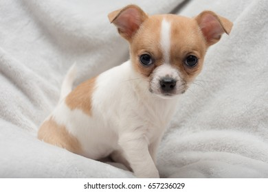 cute tan and white chihuahua puppy on a grey blanket background