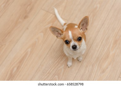 cute tan and white chihuahua puppy dog. adorable family puppy dog sitting on wooden floor looking up. ears sticking into the air.