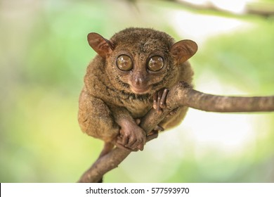 Cute tarsier with big ears