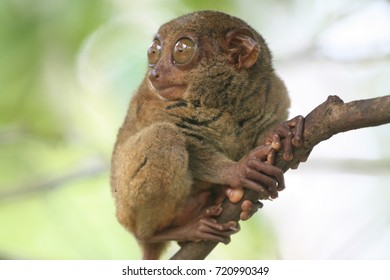 Cute tarsier in Bohol island, Philippines