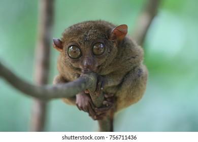 Cute tarsier, Bohol Island, Philippines