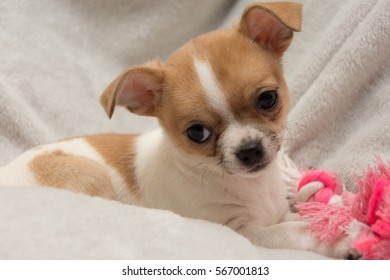 cute ten week old chihuahua puppy chewing a pink bone on a grey background.