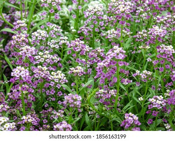 Cute tender alyssum with a wonderful aroma of flowers covered the ground in the garden in summer day.