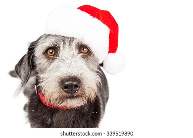 Cute terrier crossbreed dog wearing red collar and Santa Claus hat closeup