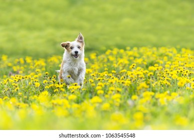 cute terrier dog running on dandelion grass field. dog run in spring garden fiel