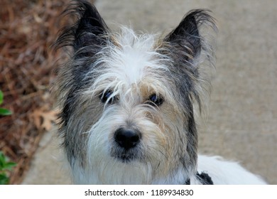 Wire Haired Terrier Images Stock Photos Vectors Shutterstock
