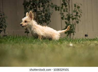 Cute Terrier puppy with adorable big ears playing outdoors with soccer ball