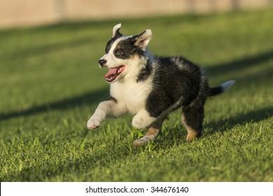 Cute Texas Blue Heeler (a cross breed of Australian Cattle Dog and Australian Shepperd) puppy running in the park at sunset.